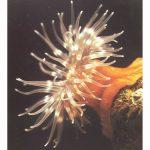 Gem Anemone by Neil Thomson